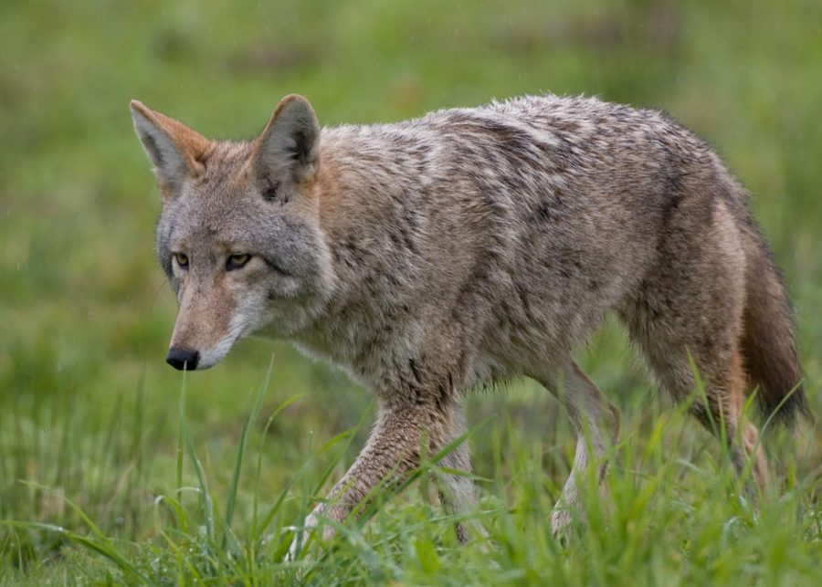 A coyote was shot and killed in Rockville after attacking three people last Thursday afternoon.