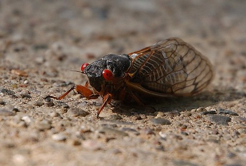 After having been subterranean for the past 17 years, the Brood X cicadas are emerging in the billions on the east coast, with Maryland at the epicenter of the mass emergence.
